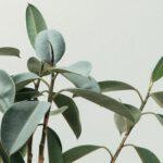 Variatie in de tuin: Kies een olijfboom